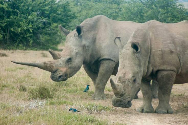 rhino-web