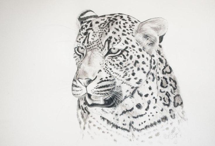 Shamwari_Leopard