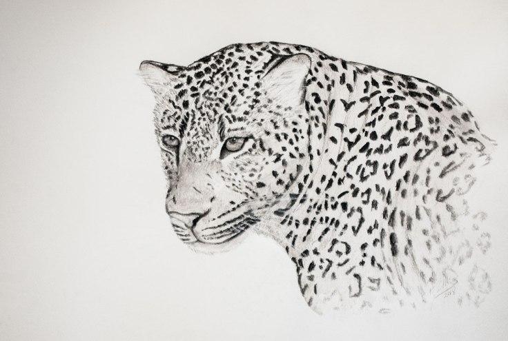 Shamwari_Leopard_old_male